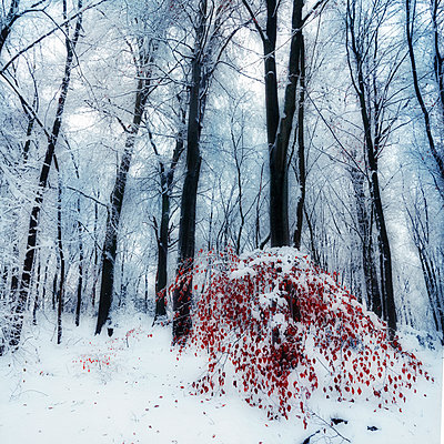 Snow covered trees in a forest with little red leaved tree in the foreground, digital alteration - p300m2213730 by Dirk Wüstenhagen