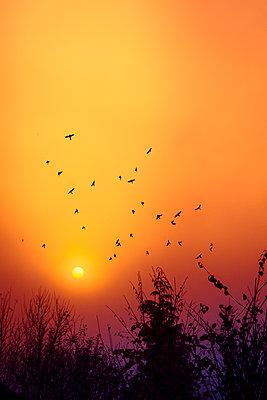 Silhouettes of birds flying in front of morning sky at sunrise - p300m2219216 by Dirk Wüstenhagen