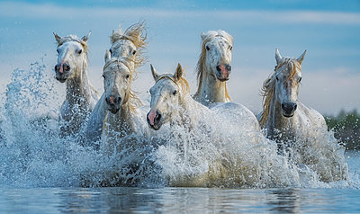 White horses of Camargue running out of the water; Camargue, France - p442m2058084 by Robert Postma