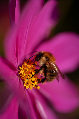 Close-up of bee pollinating cosmos flower - p1047m2043312 by Sally Mundy