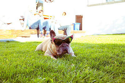Französische Bulldogge liegt mit Sonnenbrille im Garten - p432m1441584 von mia takahara