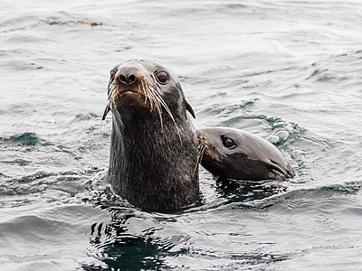 Northern fur seals (Callorhinus ursinus), Bering Island, Commander Island Group, Kamchatka, Russia, Eurasia - p871m2143248 by Michael Nolan