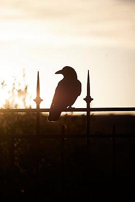 Crow - p1028m1496890 by Jean Marmeisse