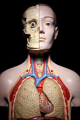 Anatomiemodell, Torso - p237m886623 von Thordis Rüggeberg