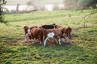 Kühe auf der Weide - p171m955876 von Rolau
