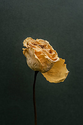 Dried rose - p971m1444786 by Reilika Landen