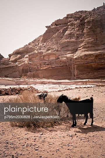 Ziegen fressen an einem Strauch in Petra - p795m2030828 von Janklein