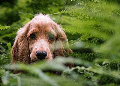 Close-up portrait of Cocker Spaniel amidst plants at park - p1166m2111960 by Cavan Images