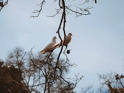 Two doves on a branch - p1681m2263284 by Juan Alfonso Solis