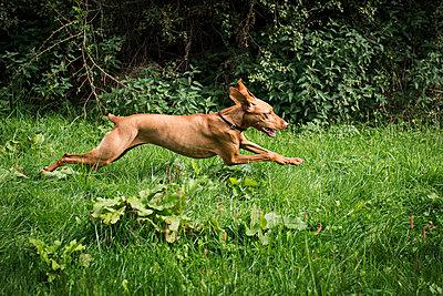 Vizsla running throth meadow - p227m1503288 by Uwe Nölke