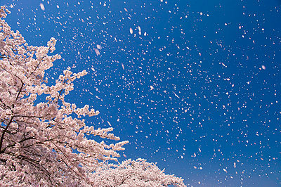 Cherry blossoms and sky - p5146695f by I-Works