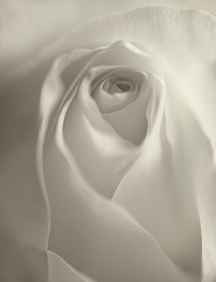 White rose - p971m911932 by Reilika Landen