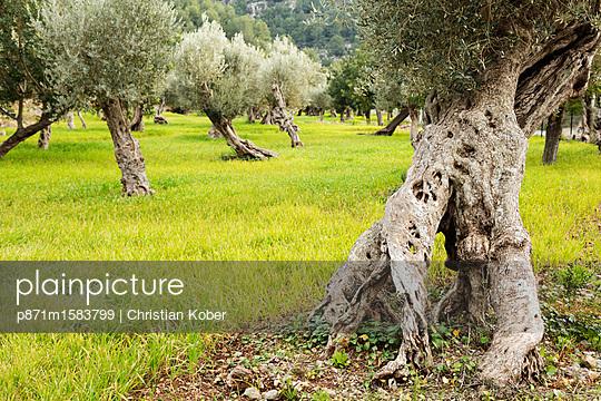 Olive tree trunks, Soller, Majorca, Balearic Islands, Spain, Mediterranean, Europe - p871m1583799 by Christian Kober