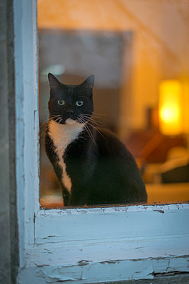 Black and white cat  sitting on window sill inside a warmly lit room. - p1433m1589987 by Wolf Kettler