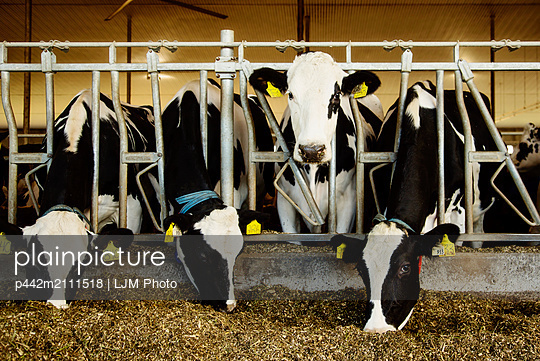 Holstein dairy cows with identification tags on their ears standing in a row along the rail of a feeding station on a robotic dairy farm, North of Edmonton; Alberta, Canada - p442m2111518 by LJM Photo