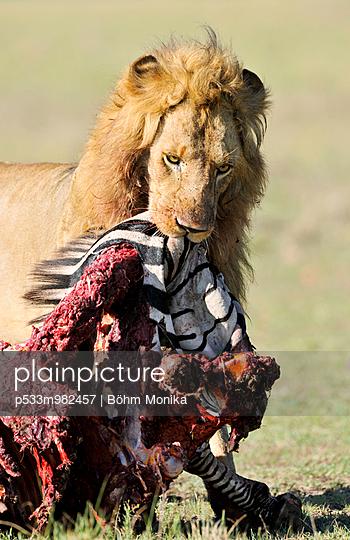 Löwe mit Beute - p533m982457 von Böhm Monika
