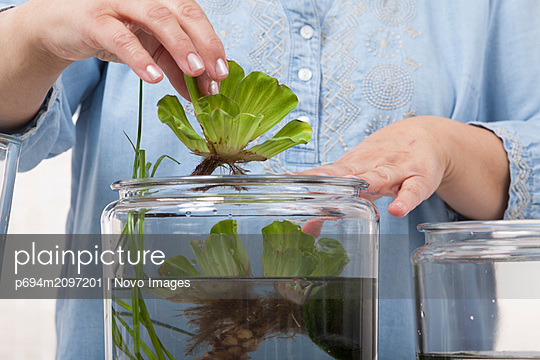 Water Lettuce, Pistia stratiotes, being Placed in Container Water Garden - p694m2097201 by Novo Images