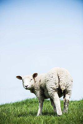 Sheep - p1076m1016337 by TOBSN