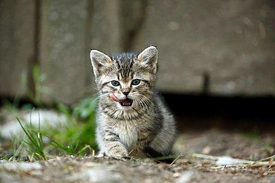 Tabby kitten, Felis silvestris catus, licking snout - p300m950734f by Silke Klewitz-Seemann