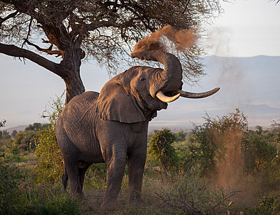 Kenya, Amboseli National Park. A bull elephant enjoys a dust bath. - p652m1058771 by Niels van Gijn