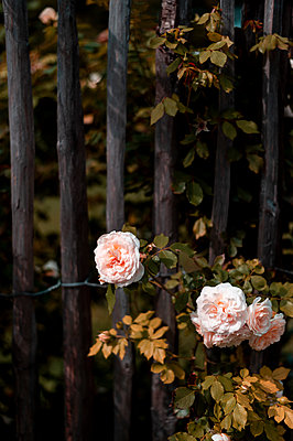 Roses on the garden fence - p947m2209401 by Cristopher Civitillo
