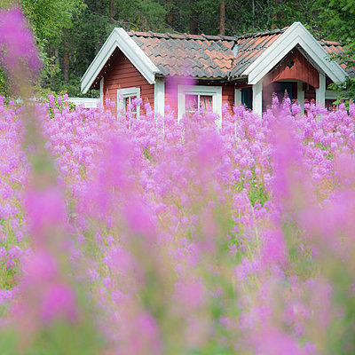 Flowering meadow against timber house - p816m1032263 by Jensen, Kai