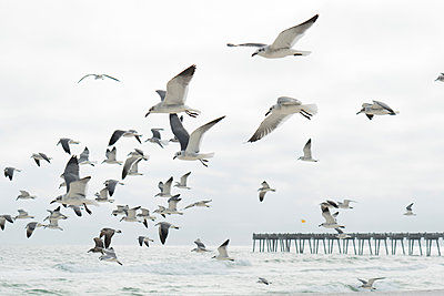 Flock of seagulls flying, Destin, Gulf of Mexico, USA - p924m1422742 by Raphye Alexius
