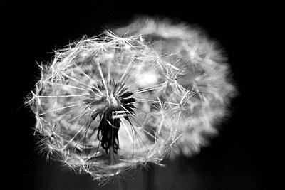 Pusteblume - p9791199 von Hath photography