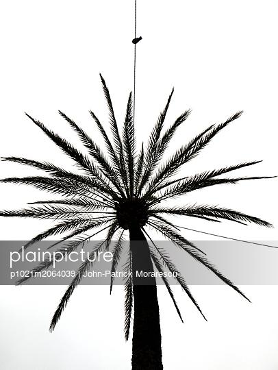 Taube und Palme - p1021m2064039 von MORA