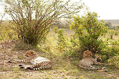 Two sleeping gepards - p5330250 by Böhm Monika