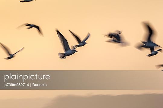 Möwen im Flug über zugefrorene Havel bei Sonnenaufgang - p739m982714 von Baertels