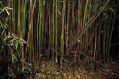 Bamboo Shoots in Maui Bamboo Forest - p1166m2207825 by Cavan Images