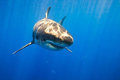 Great white shark (Carcharodon carcharias)   - p4427182f by Design Pics