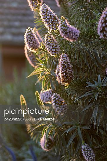 Plant with purple flowers in afternoon sunlight - p429m2237530 by Elke Meitzel