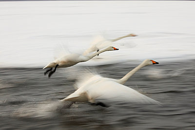 Whooper Swan, Cygnus cygnus, flying over frozen bay in winter. - p1100m1520153 by Mint Images