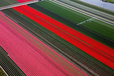 Diagonal tulips - p1120m948339 by Siebe Swart