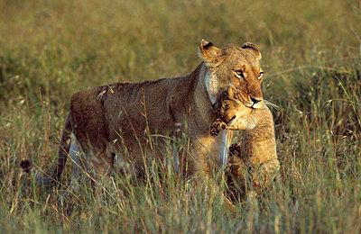 Nationalpark in Kenia - p3300394 von Harald Braun