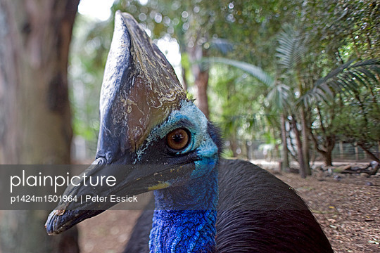 Exotic bird, a Cassowary, at Featherdale Wildlife Park in Sydney, New South Wales, Australia.