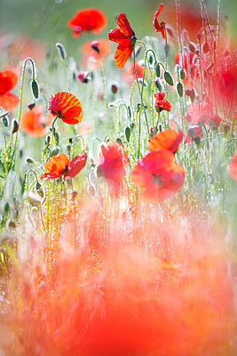Red poppies - p1057m1034314 by Stephen Shepherd