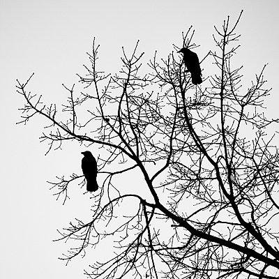 Crows on treetop - p1203m1582526 by Bernd Schumacher