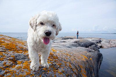 Dog on rocky coast - p312m1011773f by Malcolm Hanes