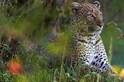Leopard - p7190156 by Rudi Sebastian