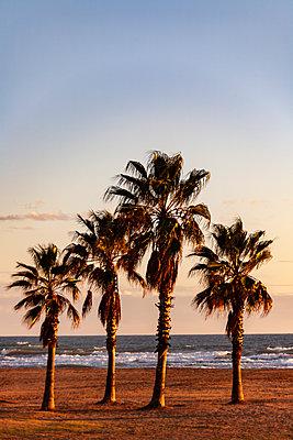 Spain, Palms on the Beach - p280m2253485 by victor s. brigola