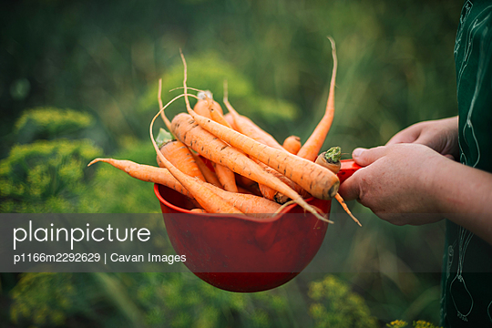 Woman holding organic carrots from backyard garden - p1166m2292629 by Cavan Images