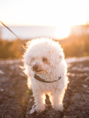 Dog on leash - p1507m2031555 by Emma Grann