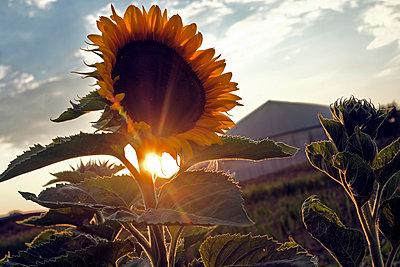 Sonnenblume am Abend - p229m1591039 von Martin Langer