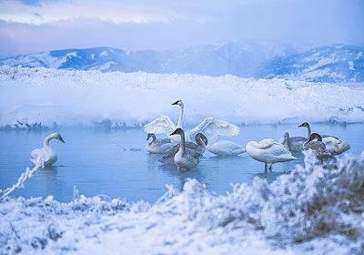 Swans in lake during winter - p1166m1211433 by Cavan Images