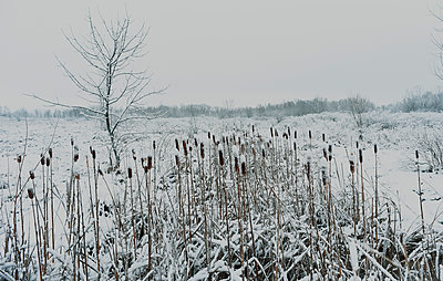 Snow covered bullrushes on a winter landscape - p1166m2071965 by Cavan Images