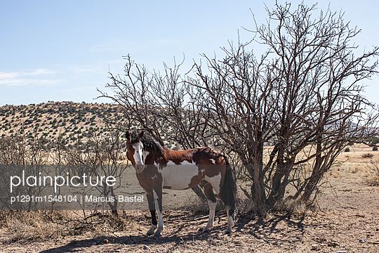 Pinto horse in front of scraggy ironwood trees - p1291m1548104 by Marcus Bastel