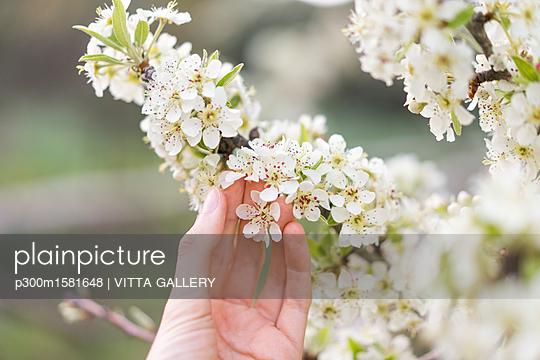 Hand touching white blossoms of fruit tree, close-up - p300m1581648 von VITTA GALLERY